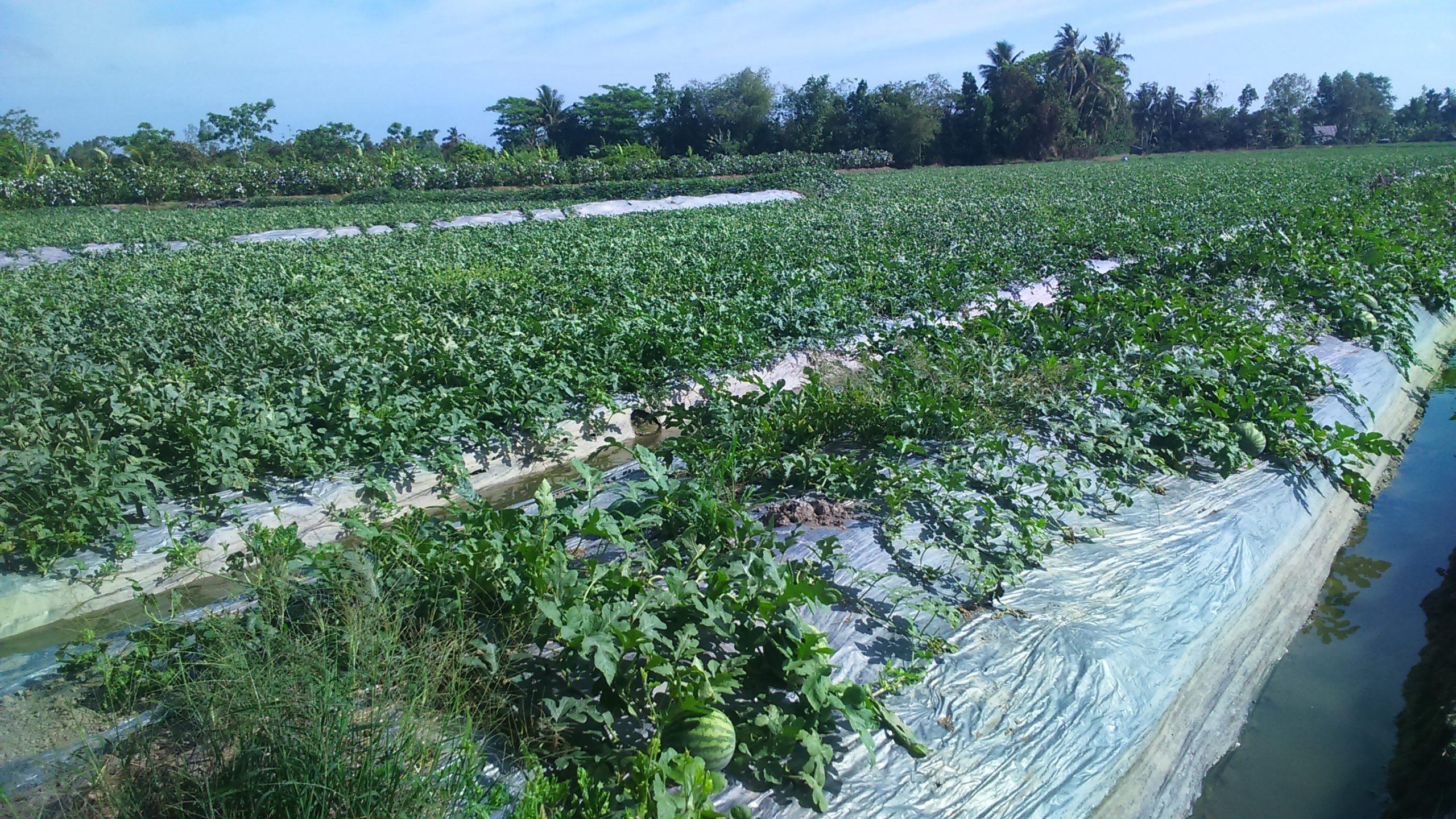 Nông dân quận Ô Môn tăng vụ lúa Xuân Hè và rau màu